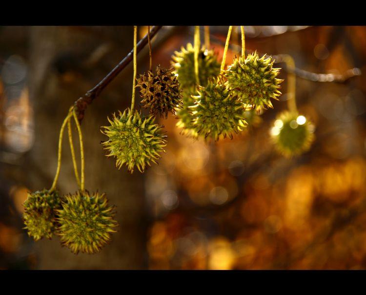 Styphnolobium japonicum Foto: Boomkwekerij Udenhout