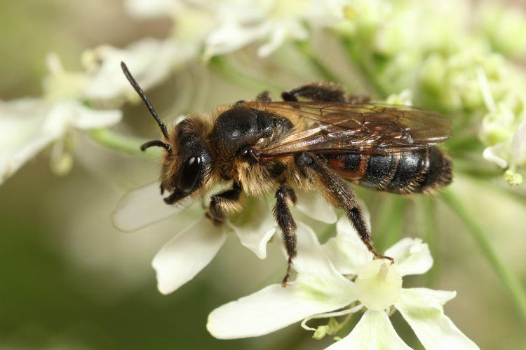 Roodrandzandbij. De voorjaarsgeneratie van de roodrandzandbij (<i>Andrena rosae</i>) verzamelt vooral wilgenstuifmeel, de zomergeneratie hoofdzakelijk stuifmeel van schermbloemen. Nestelen gebeurt op (dijk-)hellingen. De Biesbosch vormt het laatste echte