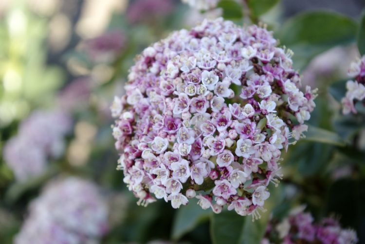<i>Viburnum tinus</i> LISAROSE ('Loren')