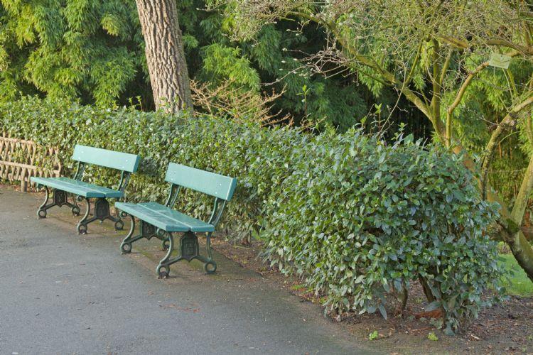 <i>Viburnum tinus</i> in de openbare ruimte