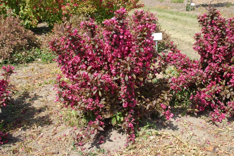 <i>Weigela florida</i> 'Minor Black' in de vroege zomer van 2012. Deze kreeg het cijfer 9,0 voor compactheid en trage groei. Hij is zelfs geschikt voor begraafplaatsen.