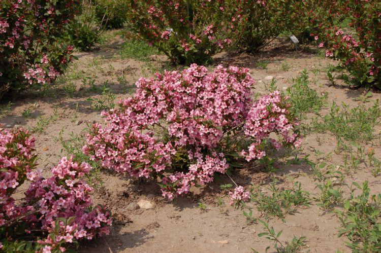 <i>Weigela hybride</i> 'Pink Poppet' ('Piccolo') van boomkwekerij Schurig in Barmstedt. Deze kreeg het cijfer 9,3 voor compactheid en laag blijven. Deze <i>Weigela</i>, die alleen in Ellerhoop is getest, wordt gekenmerkt door dwerggroei en is ook geschikt