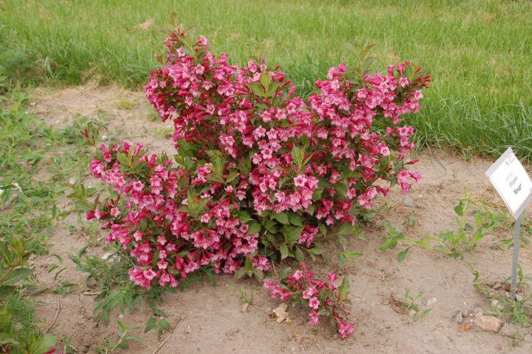 <i>Weigela hybride</i> 'Minuet' kreeg in de vroege zomer van 2012 het cijfer 9.0 voor compactheid en trage groei en kan ook worden omschreven als een dwerg.