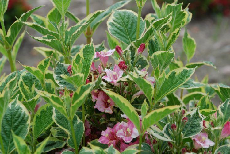 <i>Weigela florida</i> 'Nana Variegata' is alleen in Ellerhoop getest en geleverd door kwekerij Kordes Young Plants uit Bilsen. Hij kreeg een 9 voor de sierwaarde van het blad. Van de vier rassen met een 9,0 is dit de langzaamst groeiende variëteit, met e