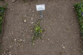 In de zomer van 2013 was er van de variëteit 'Aureovariegata' nog maar één plant over vanwege de lage winterhardheid. Deze was ook kleiner dan toen hij in juni 2010 werd geplant.