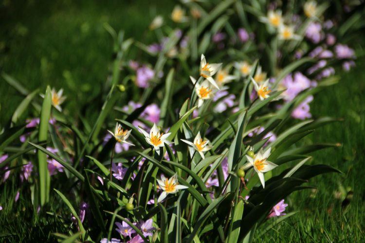 Tulipa turkestanica en Chionodoxa ' Rose Queen'